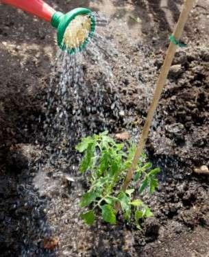 , Todo sobre el Cultivo del Tomate