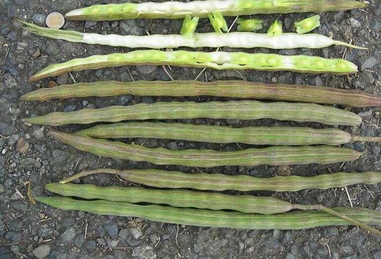 moringa propiedades vainas y semillas