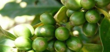 , Propiedades del Café Verde
