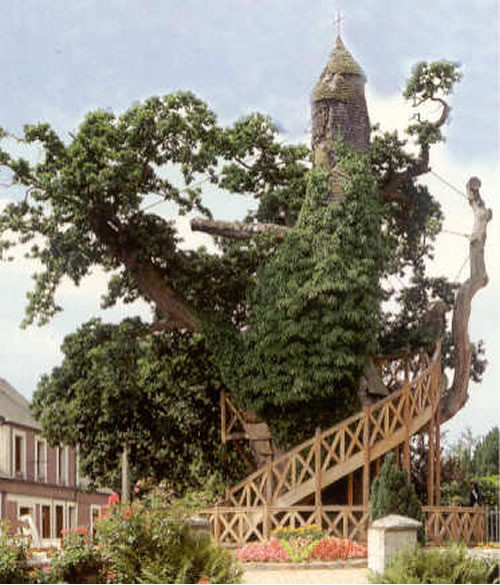 Chapel Oak Tree