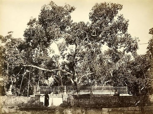 Banyan Tree which Buddha sat under