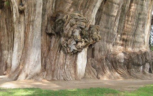 Detail of knotted burl of the Tule Tree