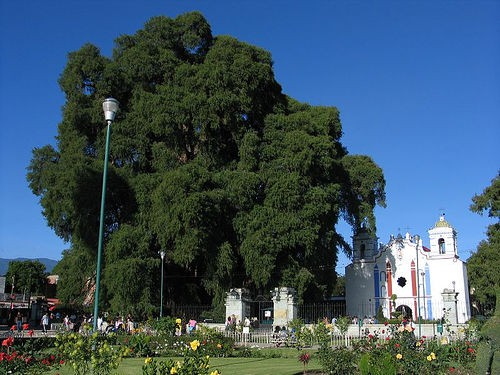 Tule Tree next to a church