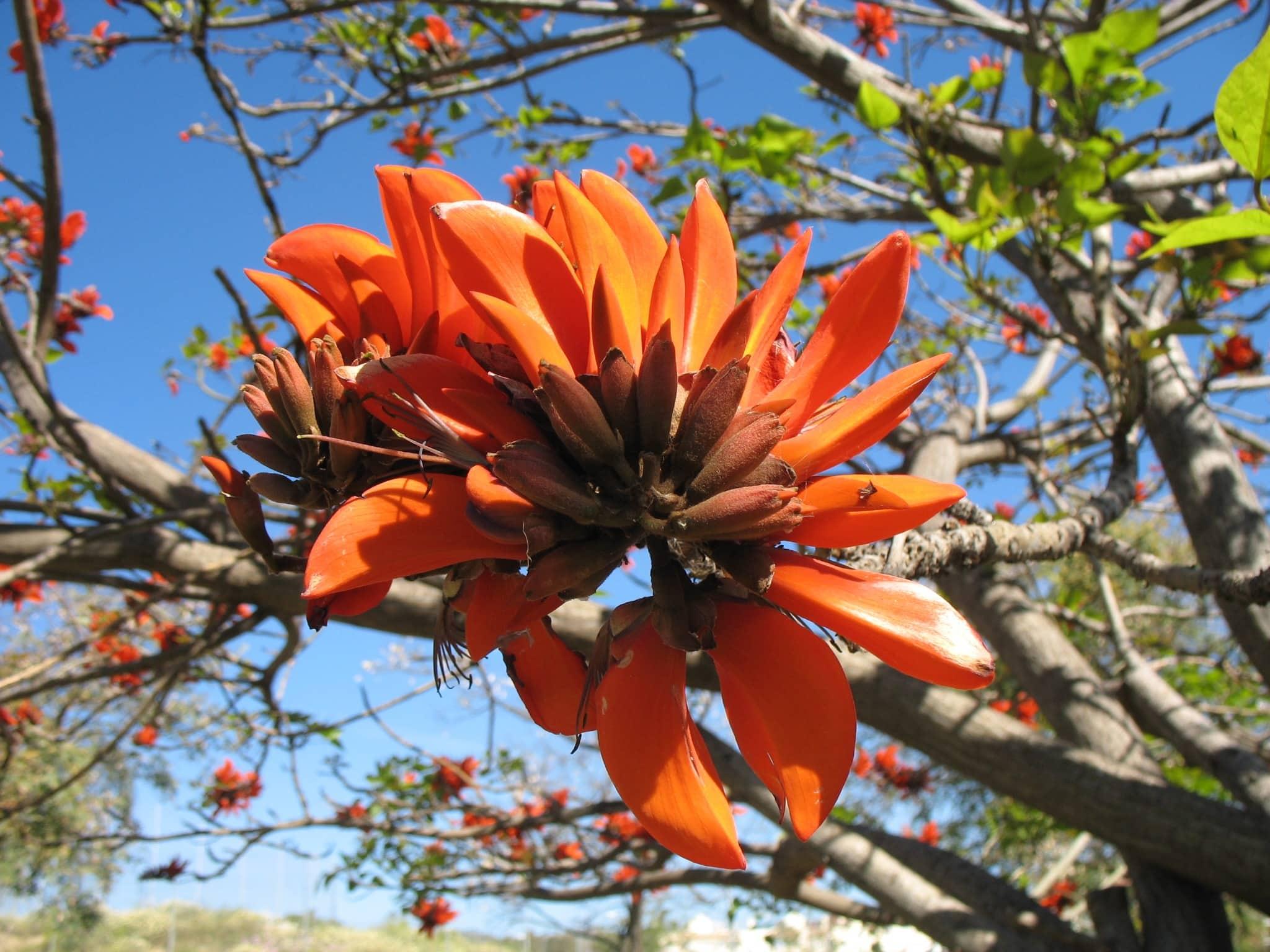 Rbol del coral sudafricano erythrina caffra el for Cafres este jardin