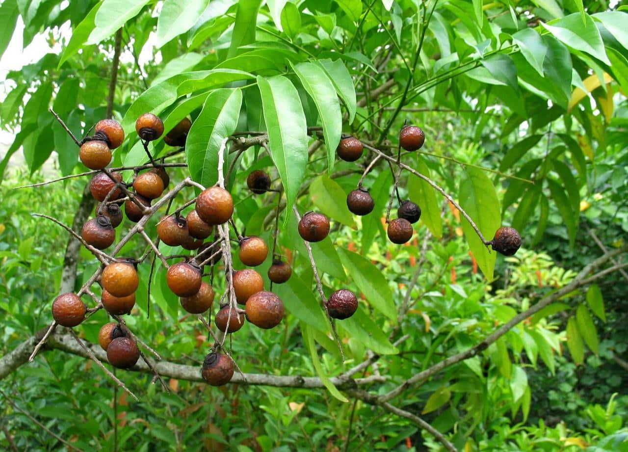 El rbol de jab n una alternativa ecol gica para el for Arbol con raices y frutos