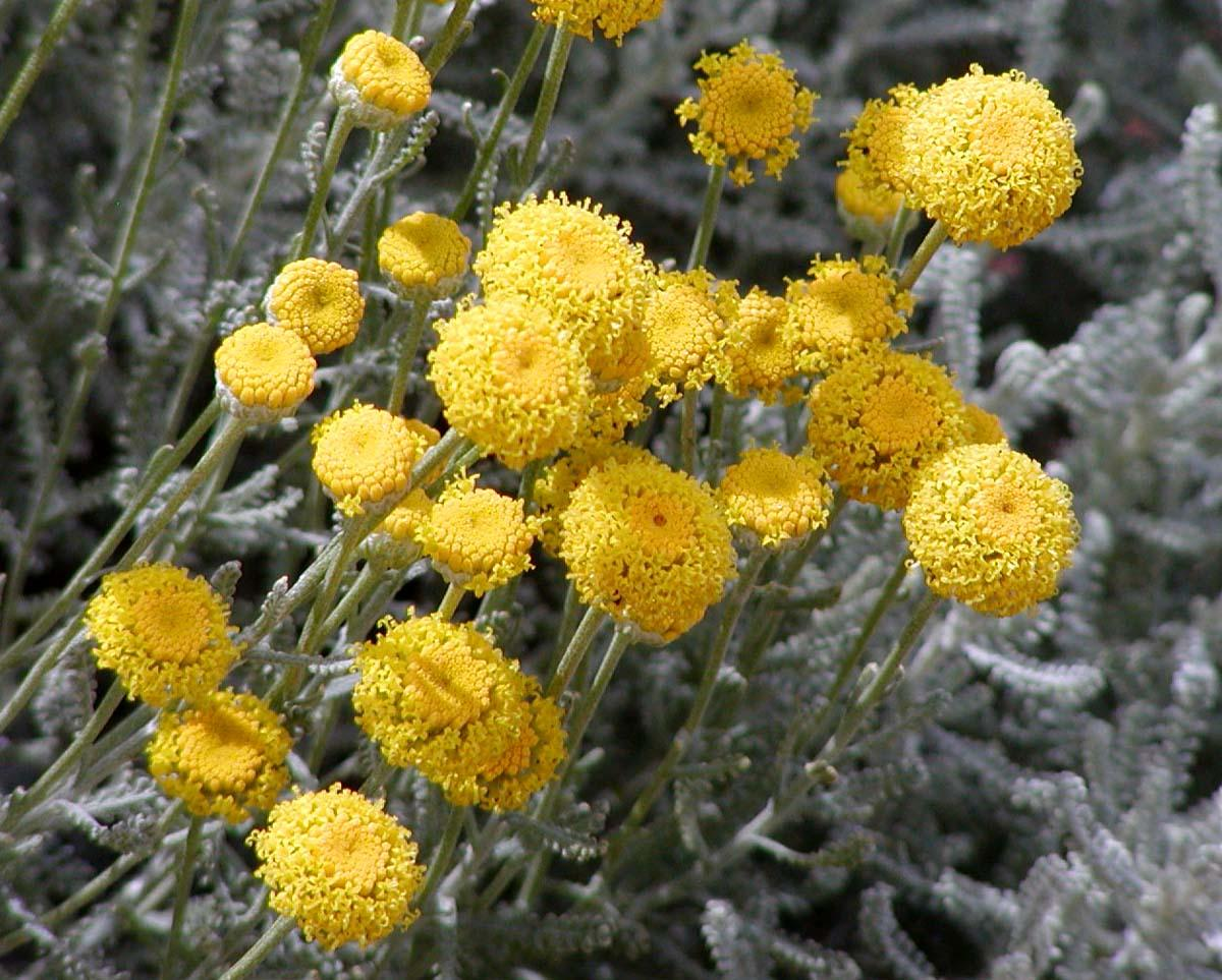Té de Artemisia, actúa como un repelente de insectos