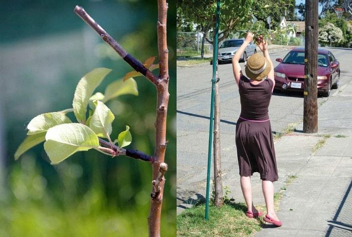 , Grupo guerrillero agrícola transforma árboles ornamentales en frutales