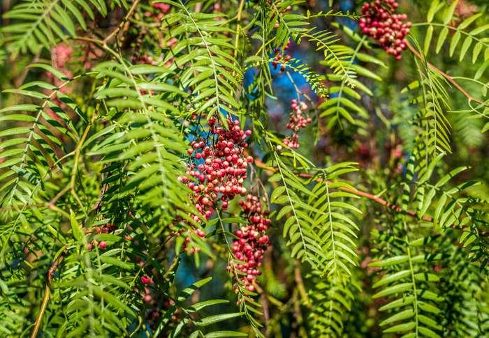 , Aguaribay: Propiedades y usos medicinales del árbol de la Vida