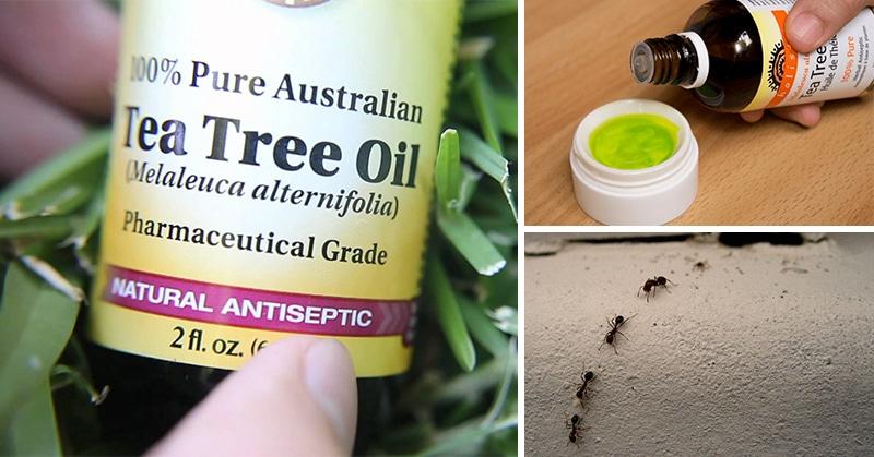 Siete usos que probablemente no conocía del aceite de árbol de té, Siete usos del aceite de árbol de té que probablemente no conocías
