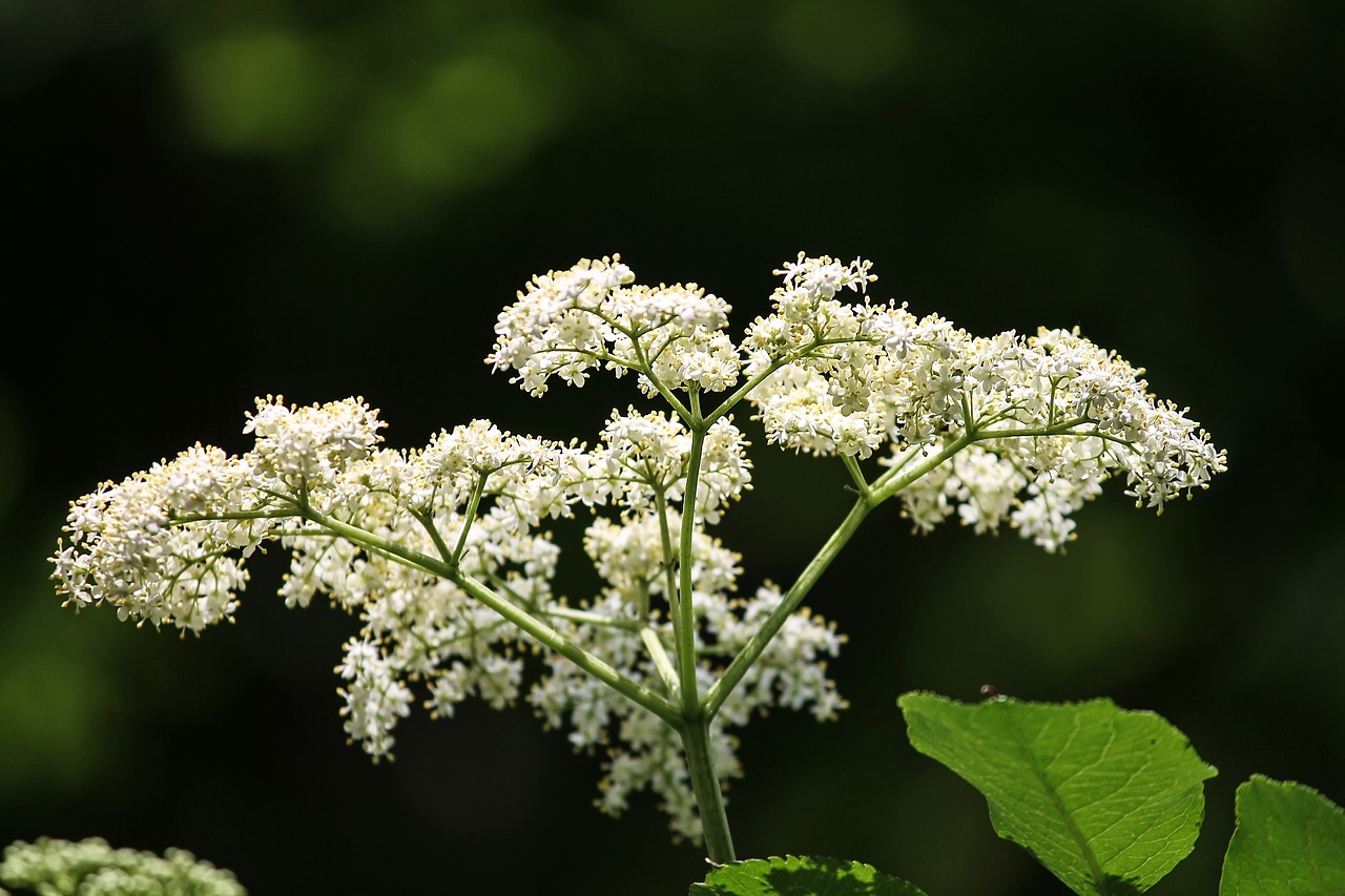 Flor, De Sauco