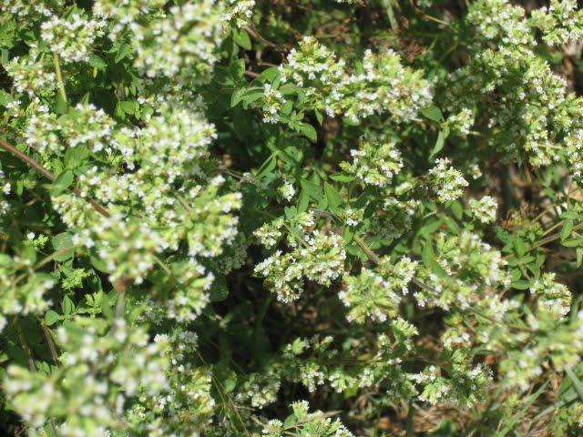 Hierbas aromáticas para cultivar en su casa, 7 hierbas aromáticas fáciles de cultivar en casa