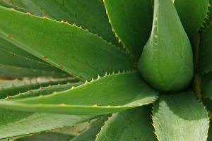 Aloe limpia el aire