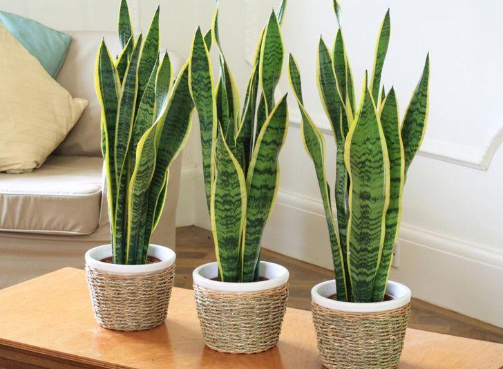 Tenga al menos una de estas plantas en su hogar: son verdaderas