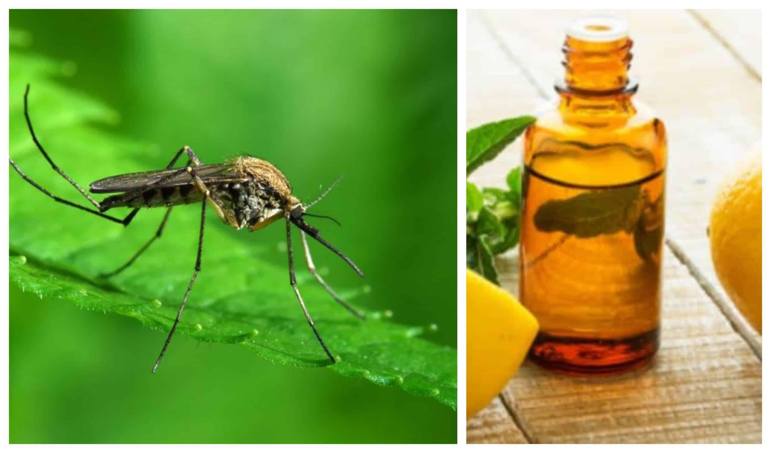 , Confirman que el aceite de eucalipto limón es tan efectivo como el DEET para repeler mosquitos