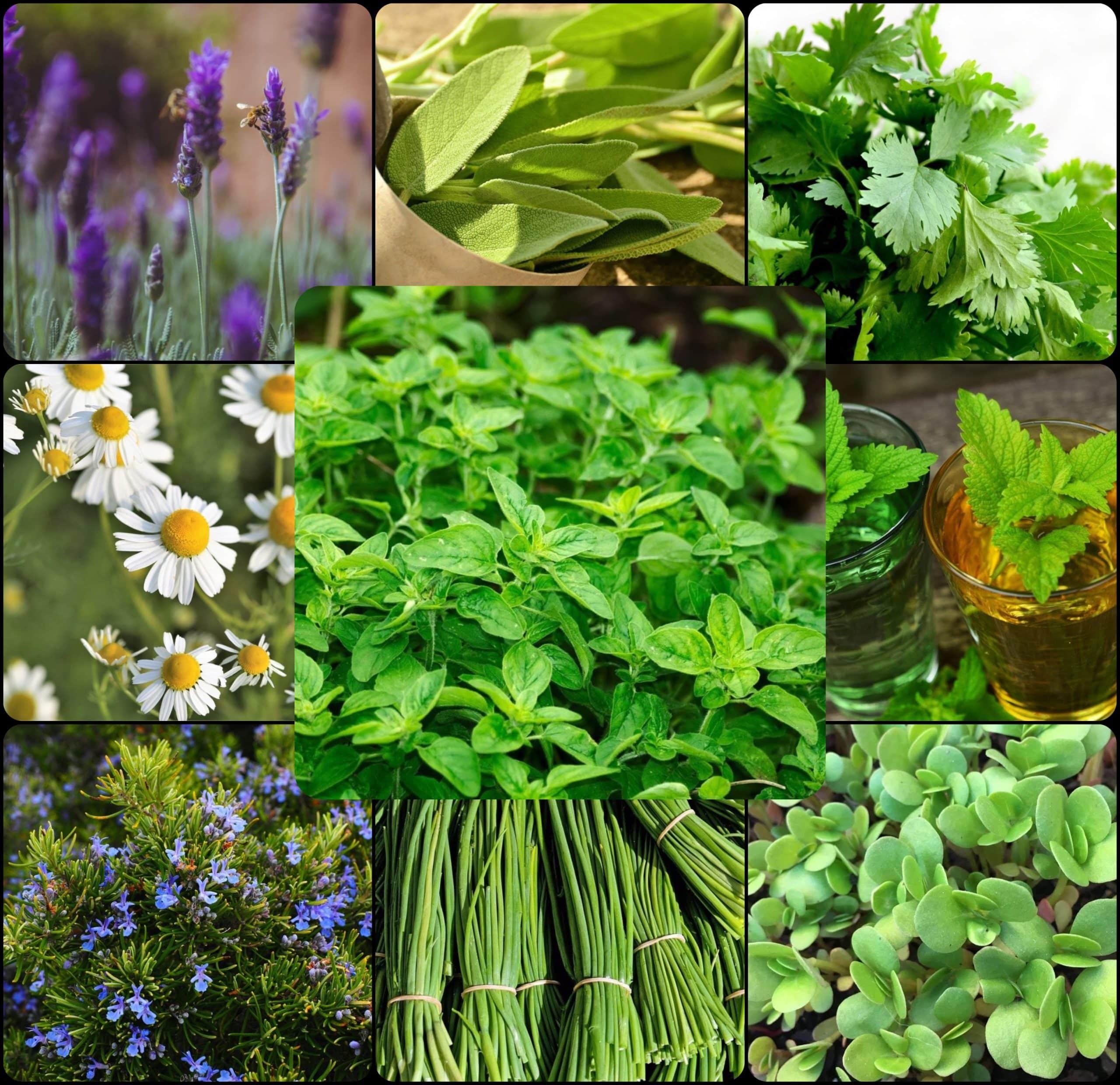 , 10 Plantas Aromáticas Perennes que plantas una vez y disfrutarás durante años