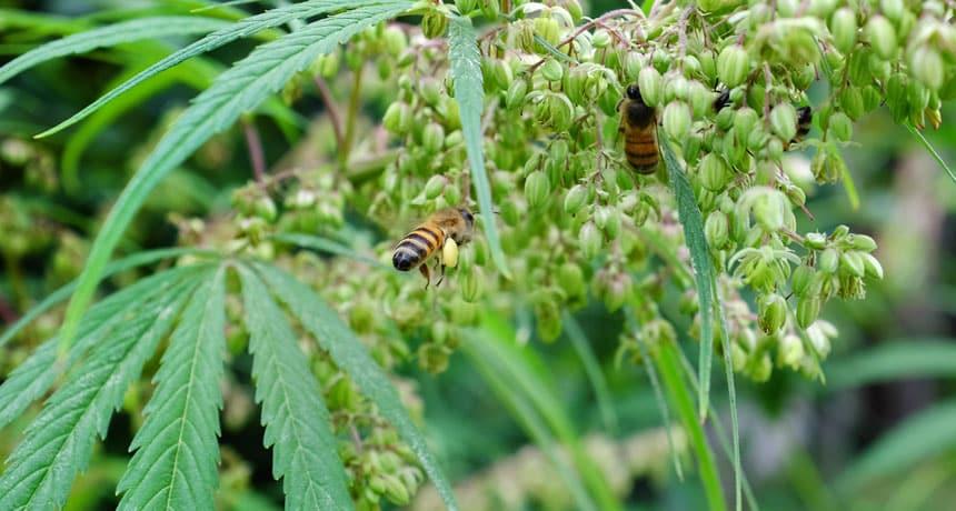 El cáñamo: una planta que podría salvar a las abejas