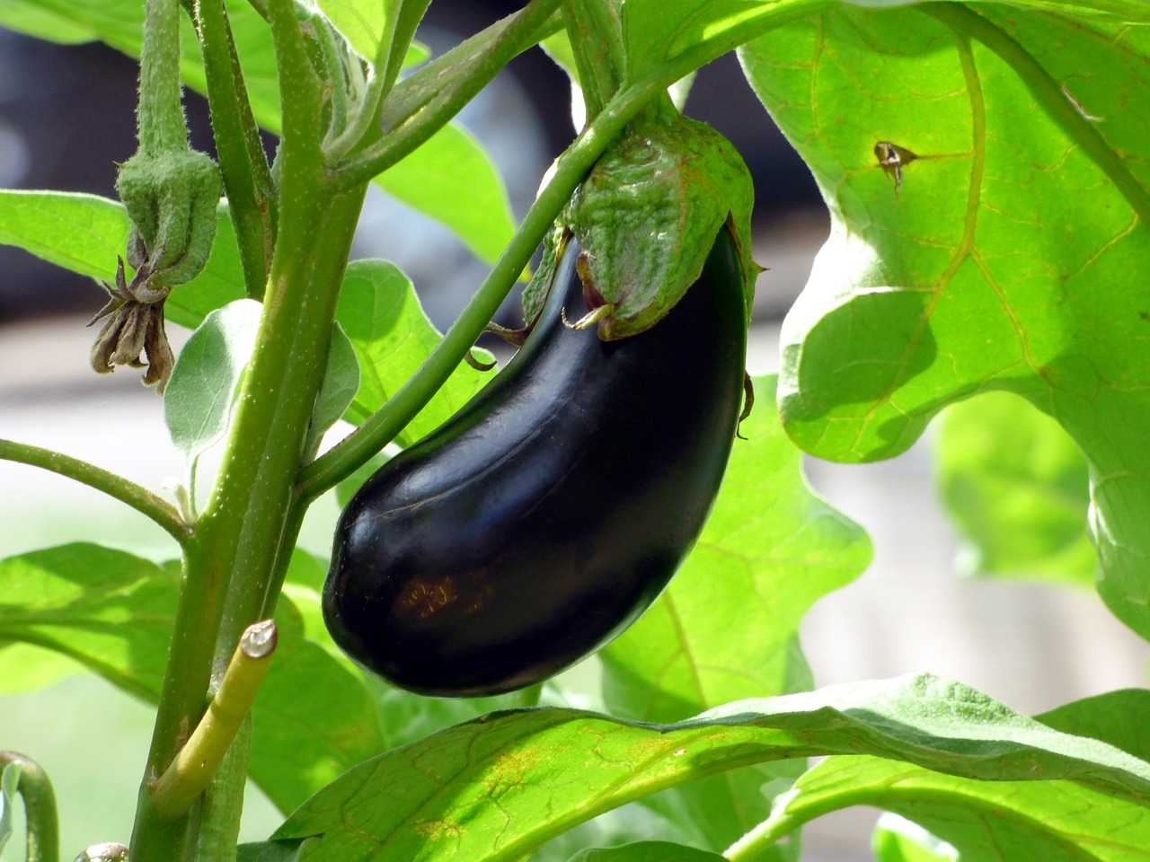 Huerta orgánica - berenjena