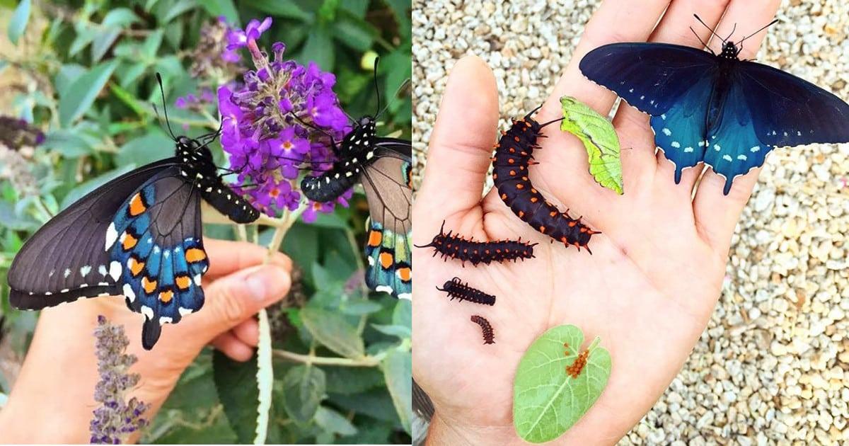 mariposas, El joven que repobló una rara especie de mariposa casi extinta él solo en su patio