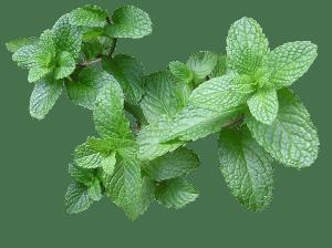 , 12 hierbas medicinales que puedes plantar en agua dentro de casa