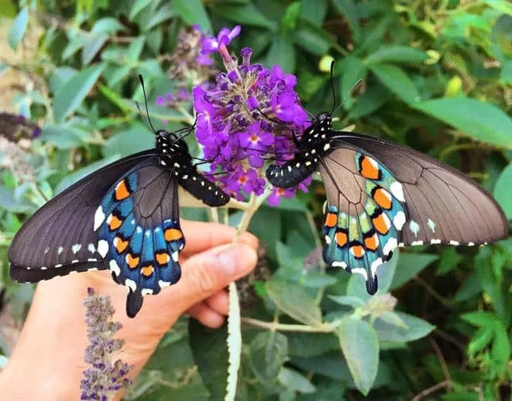 Un hombre repobló una extraña especie de mariposas