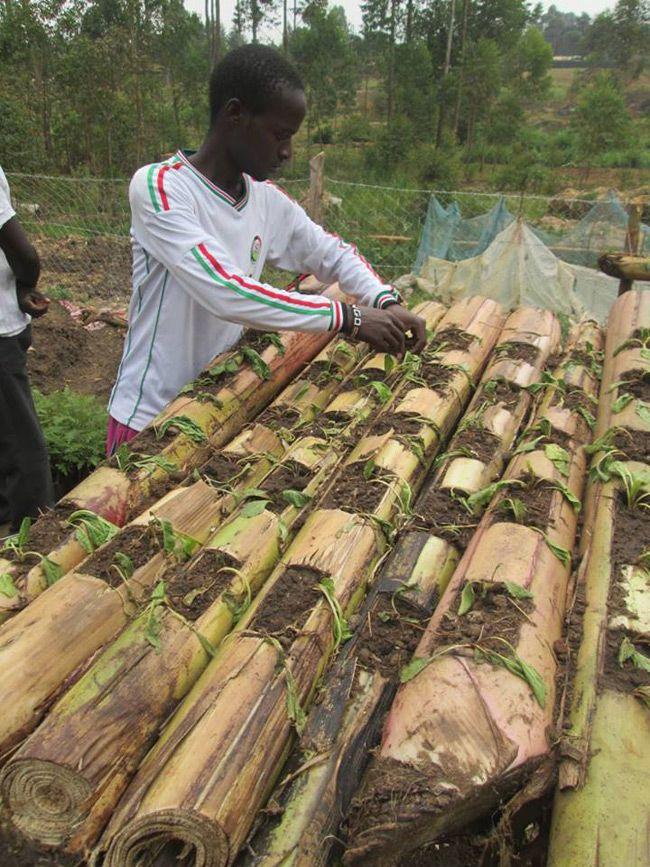 Uso de tallos de banano para la agricultura orgánica: innovaciones en la agricultura
