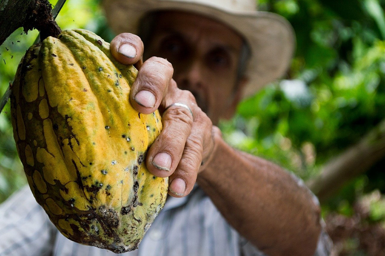 , El cacao genera 6 veces más ingresos por hectárea que el ganado.