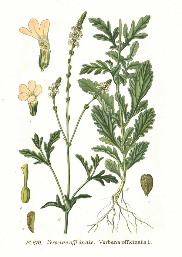 Verbena: Propiedades, Usos y Beneficios (Verbena officinalis)