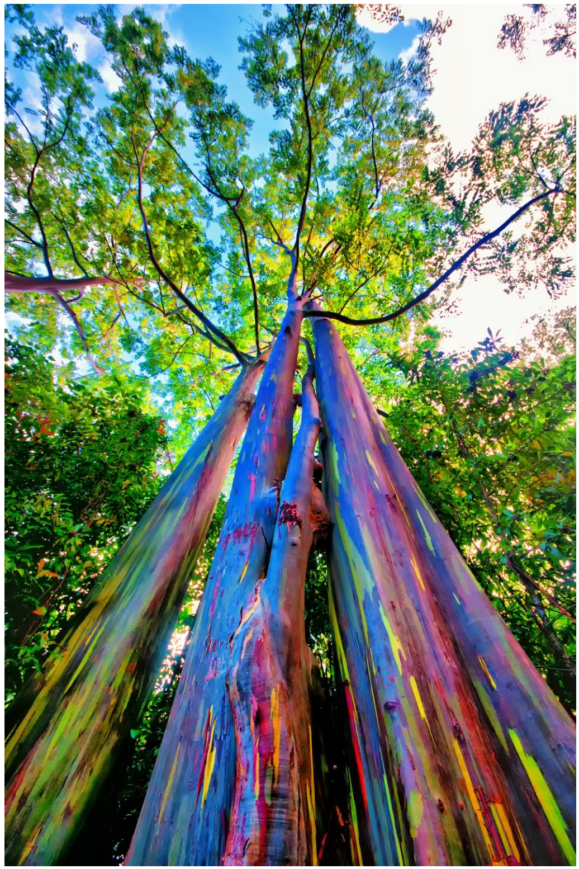 , Conoce el  Eucalipto Arcoíris, Un árbol inusual y atractivo.