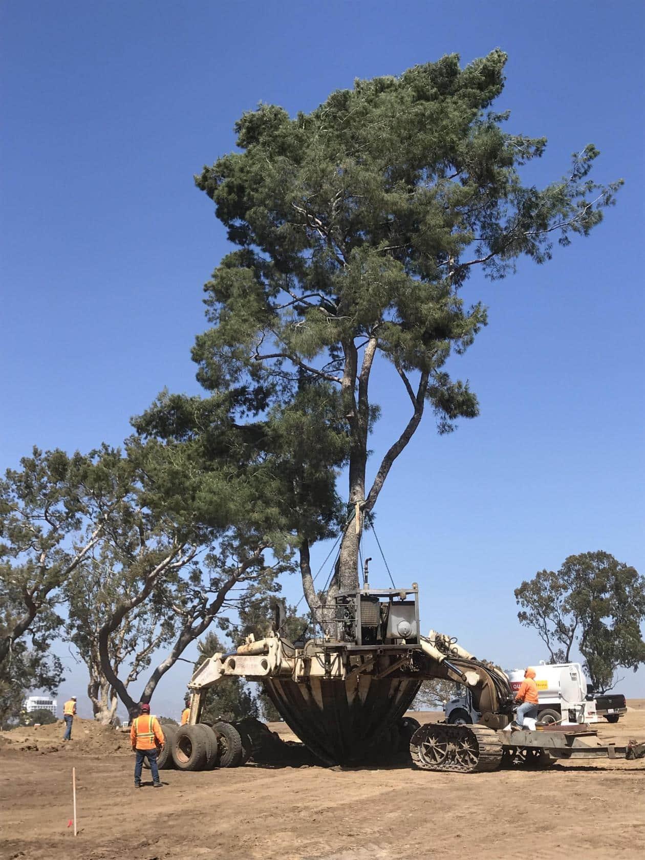 Así se trasplantan árboles centenarios sin dañarlos