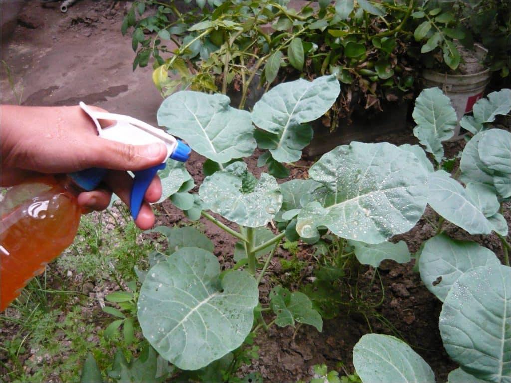 C para preparar insecticida casero a base de semilla de aguacate