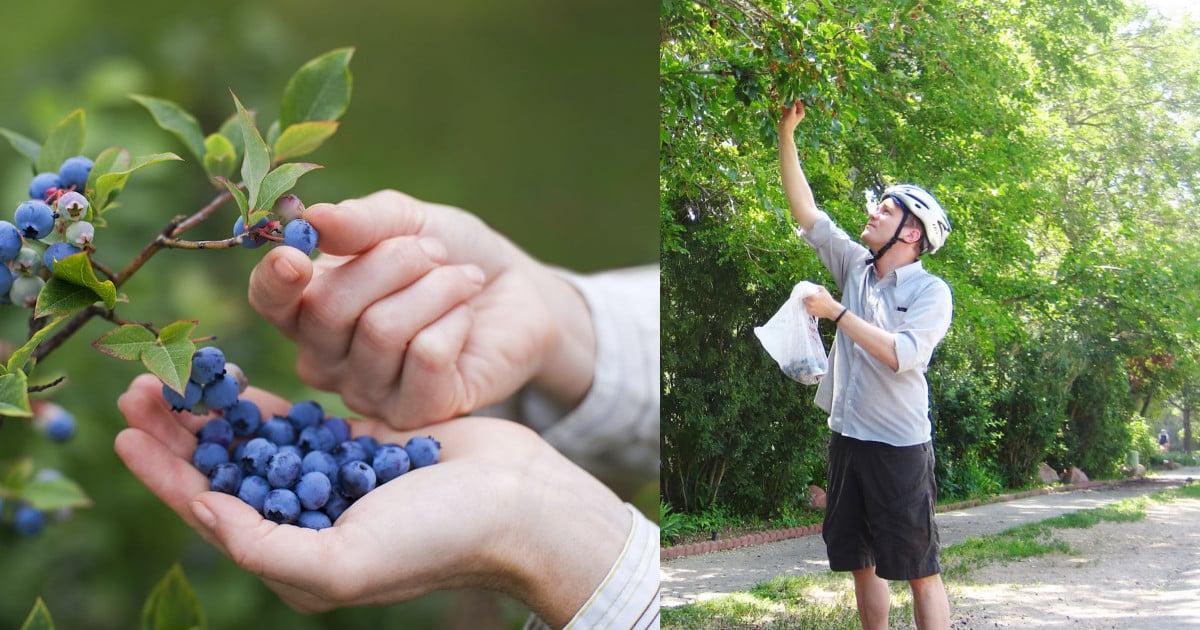 Copenhague llenará la ciudad de frutales; se cosecharán de forma gratuita manzanas, moras, arándanos…