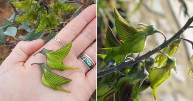 , ¿Alguna vez has oído hablar de la planta que se parece a un colibrí?