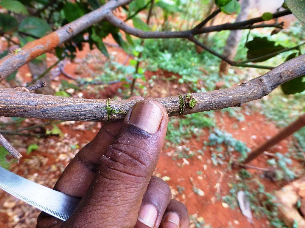 , Cómo hacer un acodo aéreo para multiplicar frutales (y muchas otras plantas)