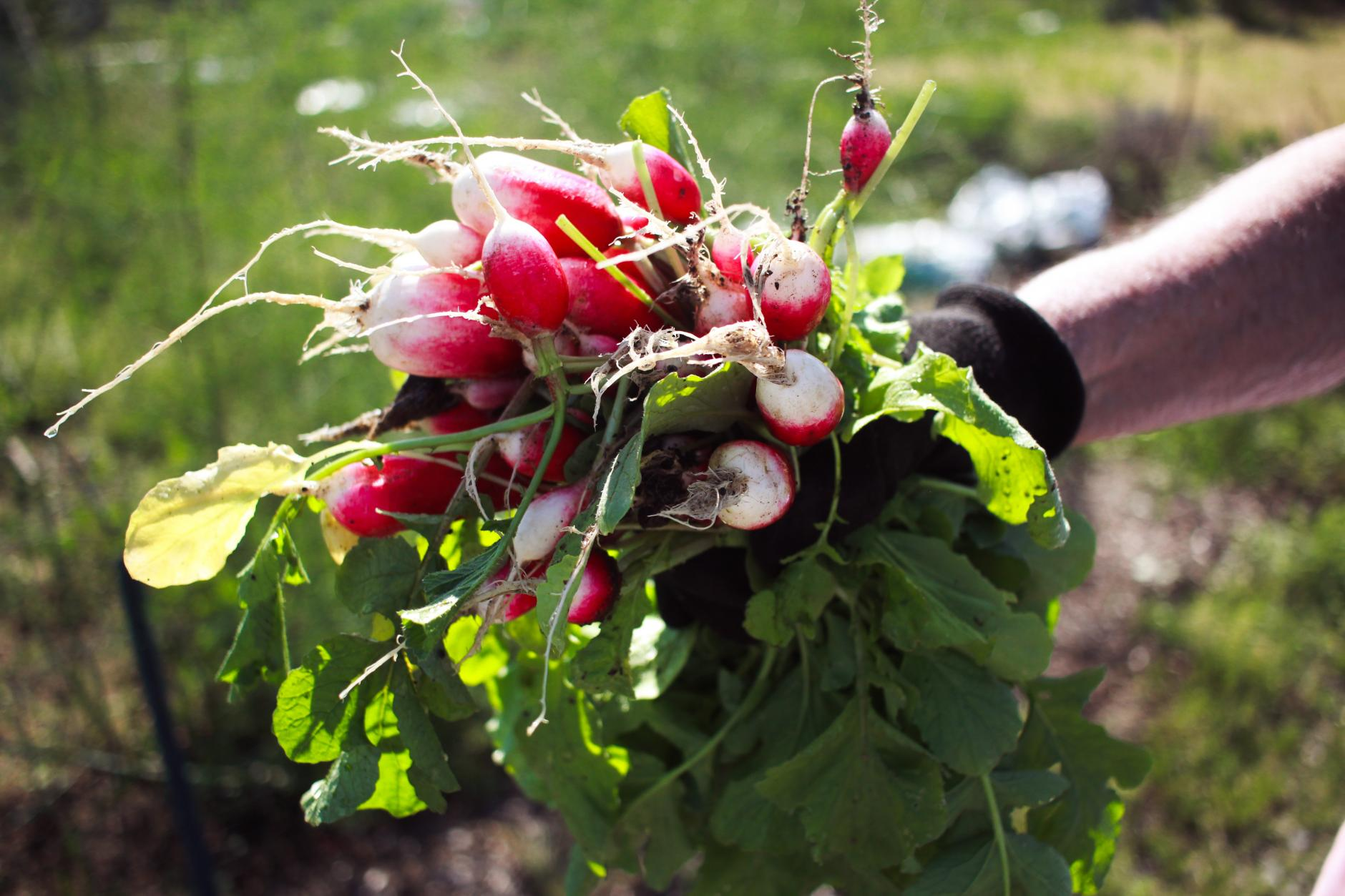 10 verduras de rápido crecimiento que puedes cosechar en poco tiempo