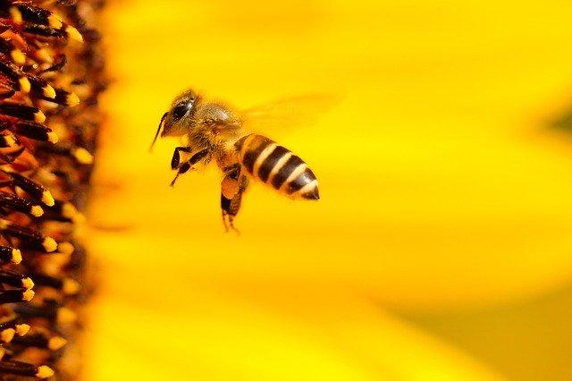 Siembran santuario de girasoles en México para proteger a las abejas