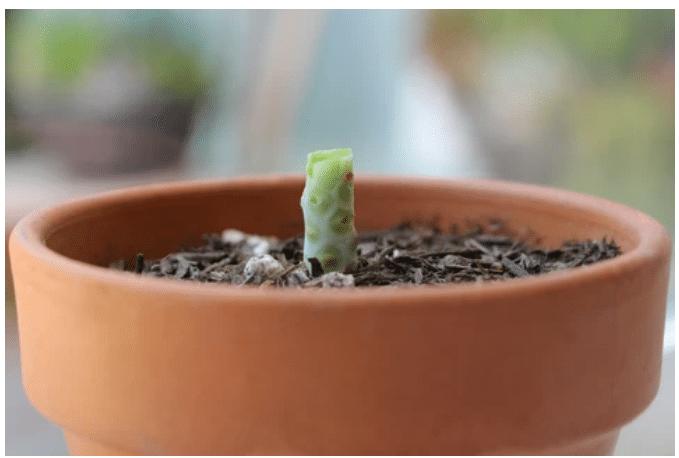 , Cómo propagar suculentas en 4 simples pasos