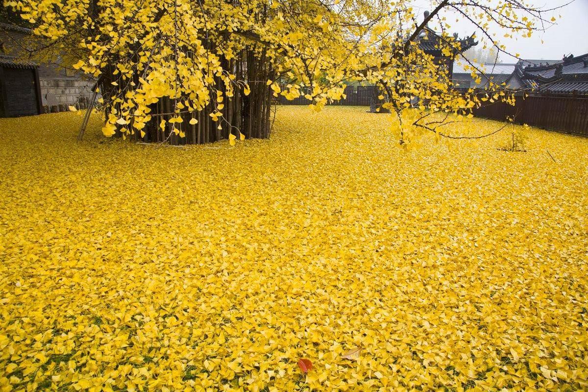 Este árbol de Gingko de 1.400 años arroja sus hojas cada año creando un océano de oro