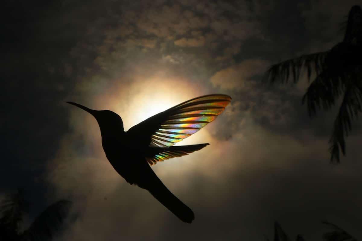 Fotógrafo australiano logra capturar un «arcoíris de colibrí» y los resultados son impactantes