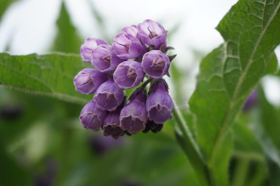 Para qué sirve la Consuelda o Comfrey y sus propiedades medicinales