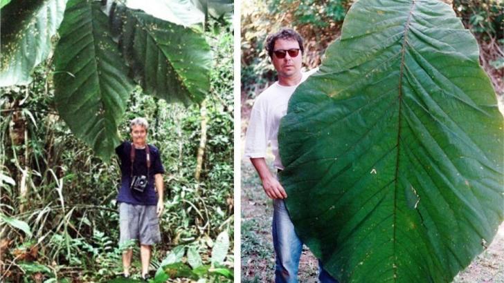 , Árbol amazónico con hojas más grandes que los humanos es finalmente identificado como nueva especie
