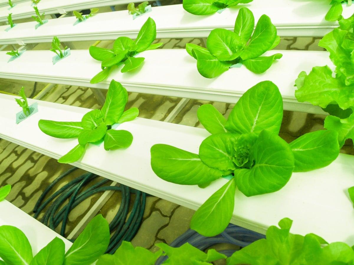 ¿Cómo cultivar lechuga hidropónica orgánica?