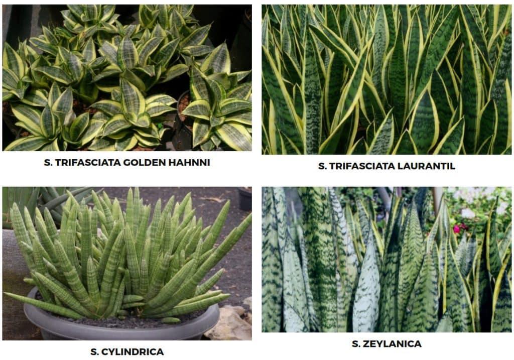 , Porqué es tan importante tener esta planta en tu hogar u oficina