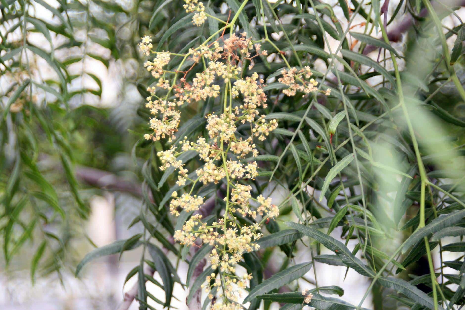 Aguaribay: el árbol que repele mosquitos naturalmente