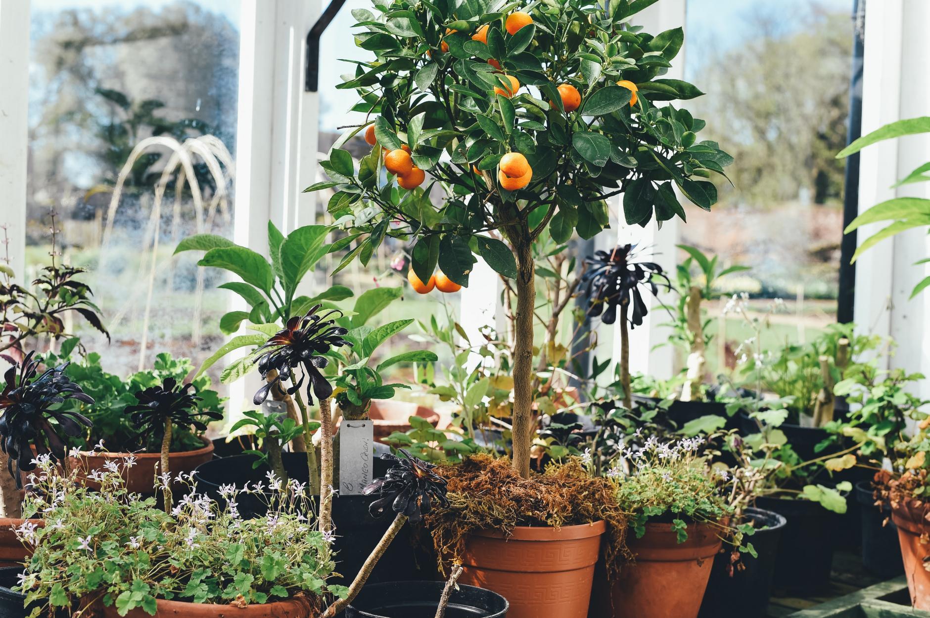 , Árboles frutales para jardines Pequeños y Macetas