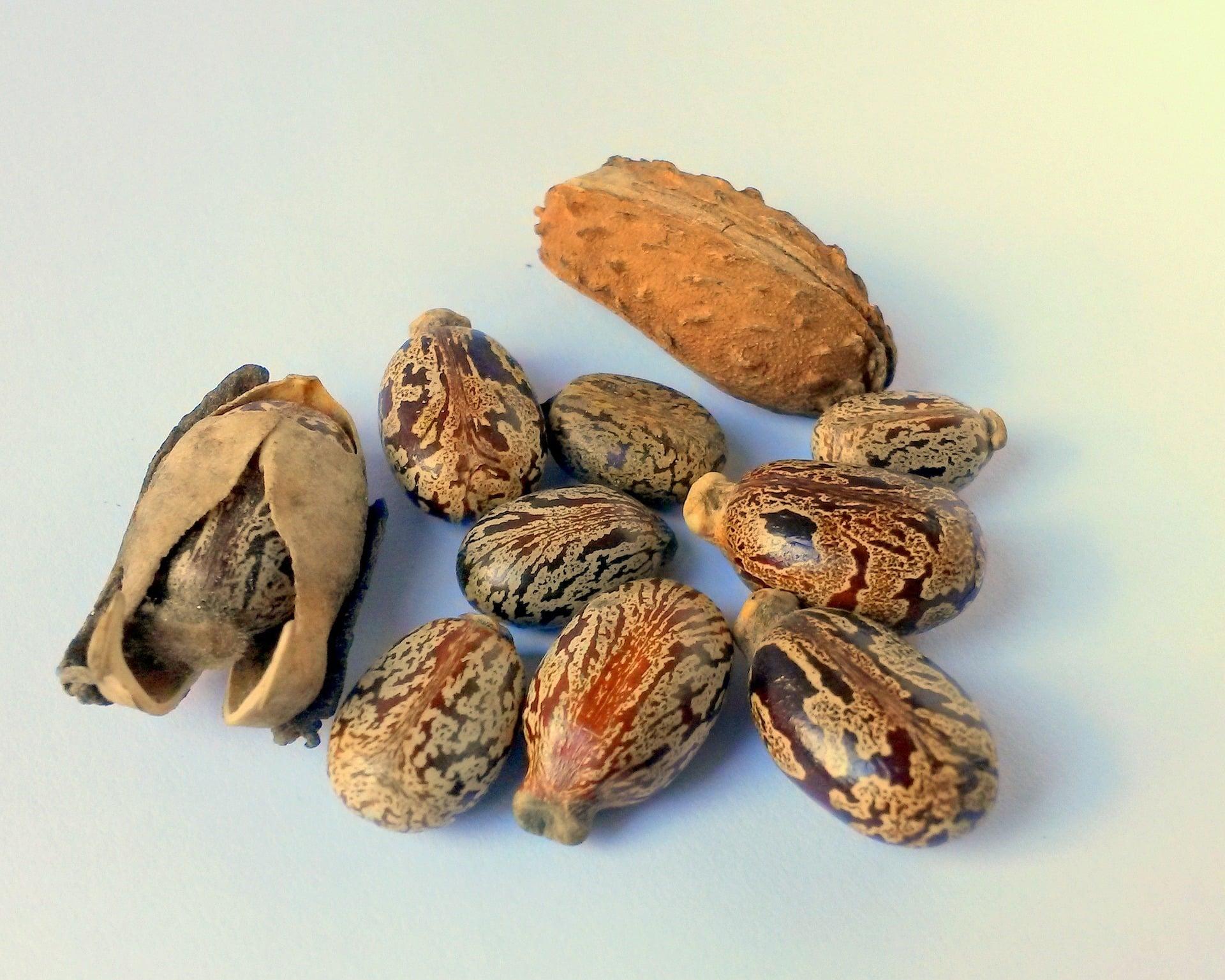 Semillas aceite de ricino