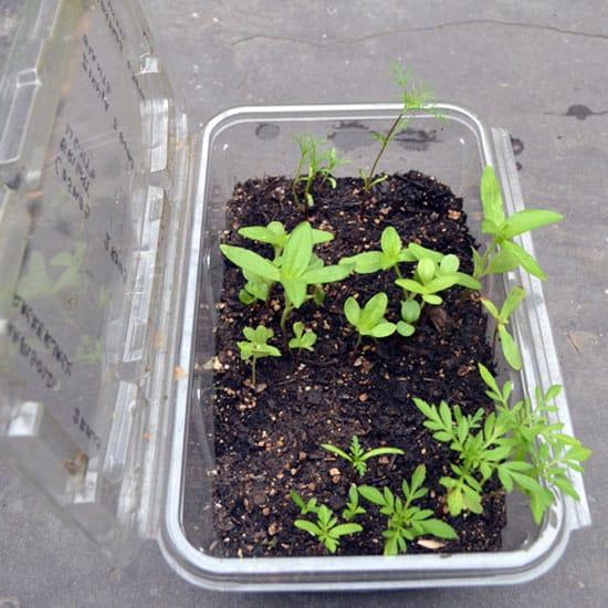Cómo reutilizar los envases plásticos del supermercado para hacer micro-invernaderos y germinar tus semillas