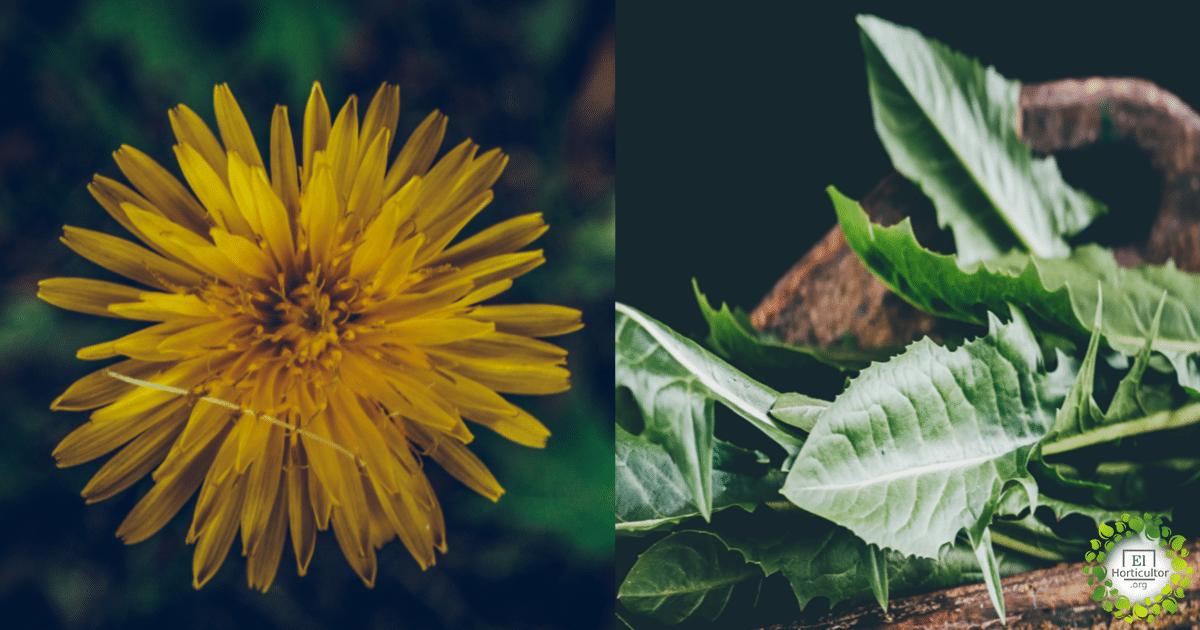 , Diente de León, la hierba venerada por la ciencia + Recetas