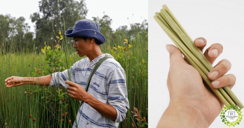 , Pajitas vegetales biodegradables para luchar contra el plástico