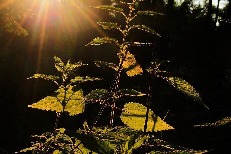 Recordando la medicina de mis abuelos: Ortiga, la planta sagrada