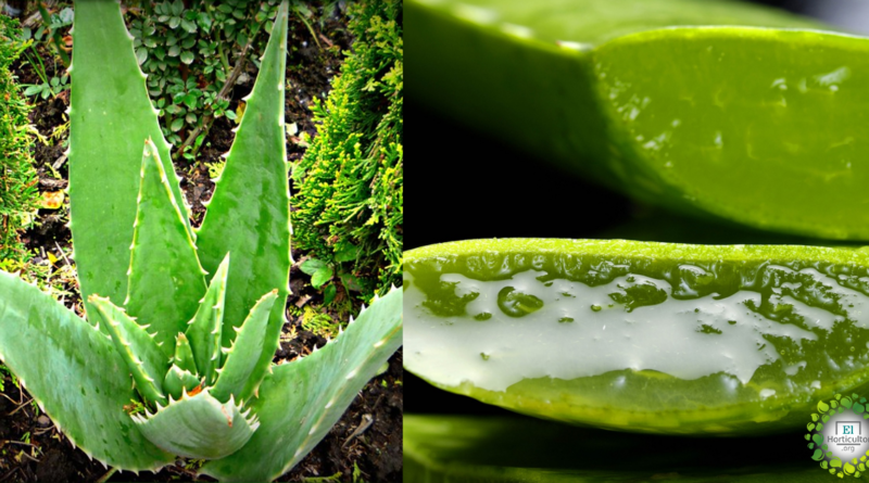 , 5 razones por las que cada hogar debería tener una planta de Aloe vera